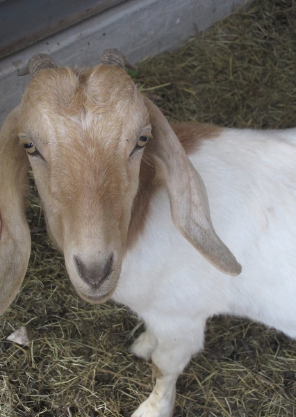 The Wisdom of Goats